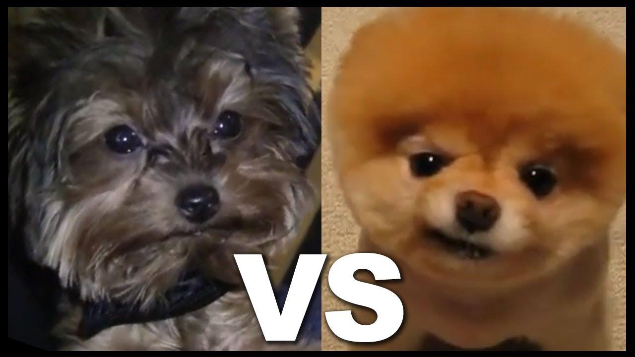Teacup Yorkie Vs Pomeranian Cuter Than Boo The World S