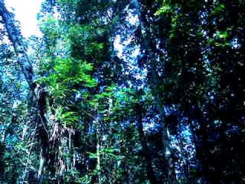 Baixar floresta amazônica canto do pássaro capitão do mato