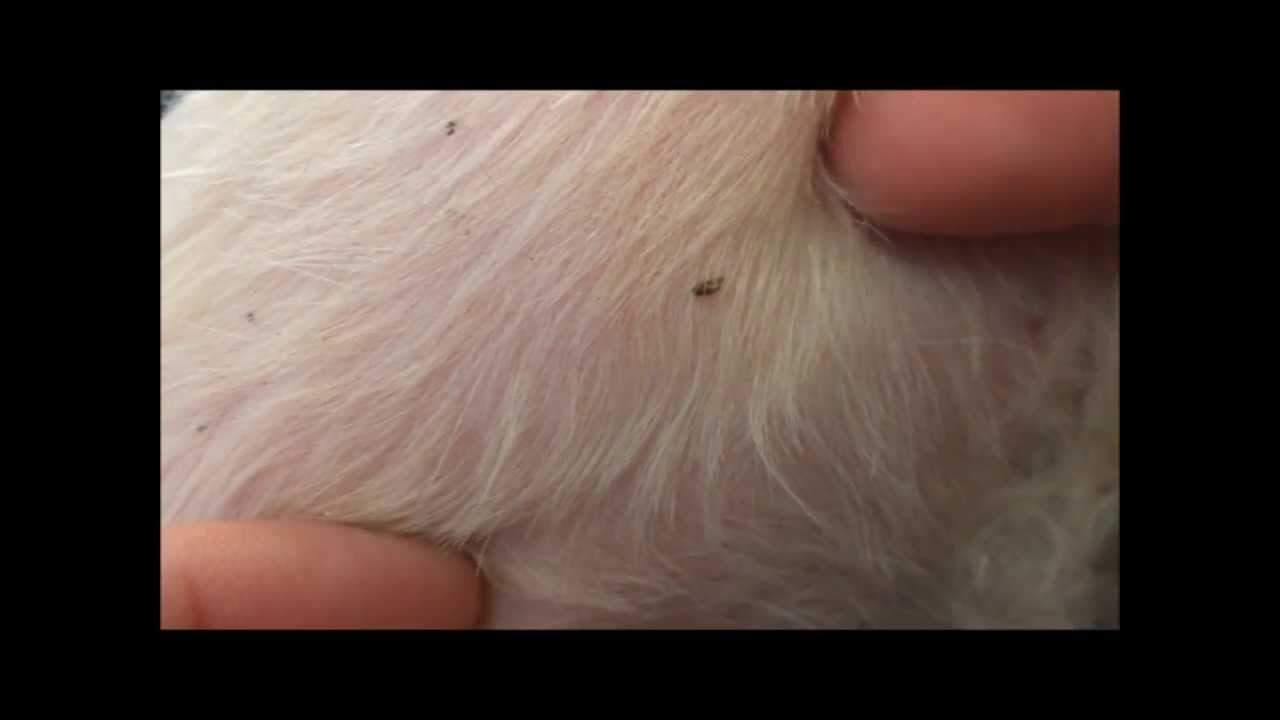Does My Dog Have Fleas Youtube