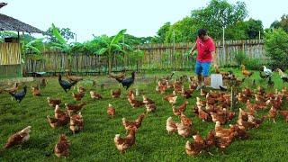 Amazing Free-range farming produces Thousands of chickens - Raising & Feeding hundreds of Ducks