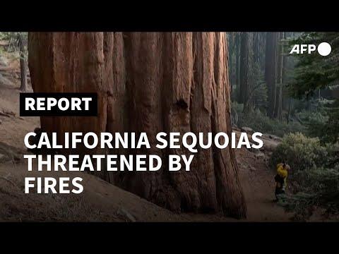 Iconic California sequoias threatened by hazardous fires   AFP