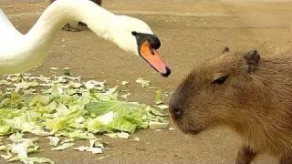 カピバラの「白鳥が強すぎる件」 HD Ver. (capybara swan and cabbage HD ver.)