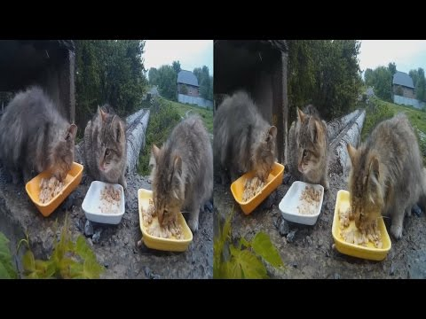 Hungry Fluffy Lumps in 3D !Feeding stray cats. 3D VIDEO