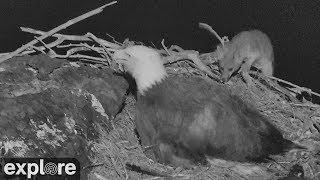 Fox Attacks Bald Eagle Nest!
