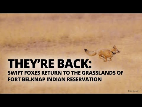 Swift foxes return to the grasslands of the Fort Belknap Indian Reservation in Montana