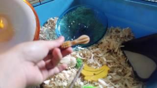 Adopting my new Syrian hamster    Luna Jr. ♡