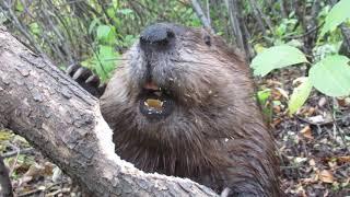 Beaver chews through tree limb: close up footage: See how beavers do it!