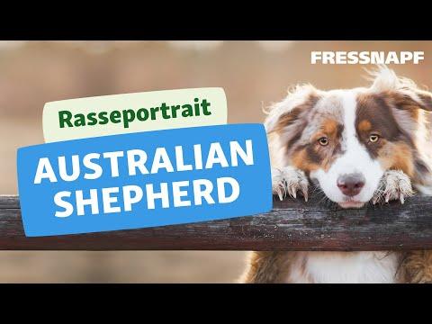 Rasseportrait: Australian Shepherd