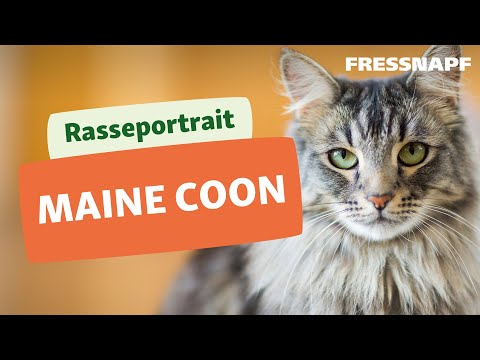 Rasseportrait: Maine Coon