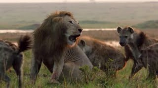 hyena attacked lioness and the lions pursued #tvaanimals