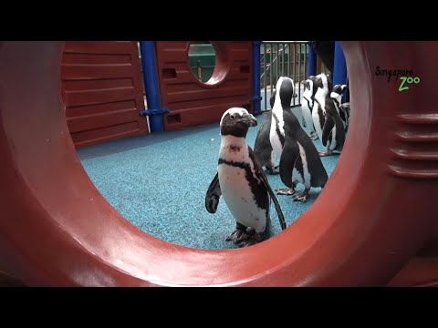 Flippin' fun: Penguins in Singapore zoo waddle around | AFP photo