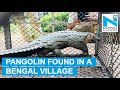 Forest officials capture rare Pangolin in Bengal village