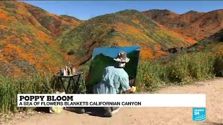 Poppy Bloom: a sea of flowers blankets Californian Canyon