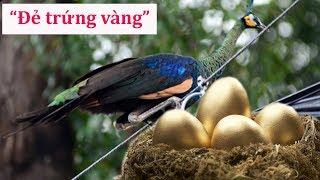 Chim khổng tước Đ,ẻ, trứng vàng, người dân bất ngờ đổi đ,ời