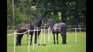 THREE FRIESIAN HORSES MEET FOR THE FIRST TIME