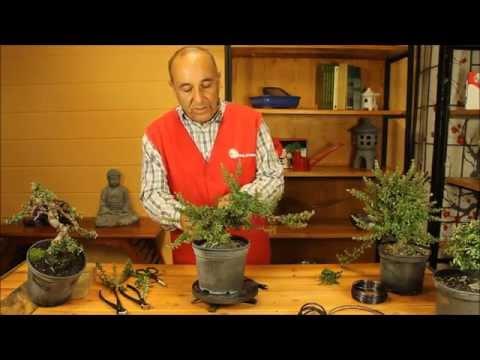 Mistral Bonsai - ¿Cómo trabajar un prebonsái de cotoneaster?