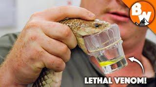 Deadliest Job in the World - Australian Snake Milker!