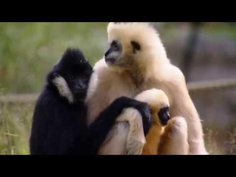 Vitkindad gibbon