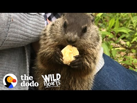 Wild Groundhog Won't Let Woman Go Home Without Her   The Dodo Wild Hearts