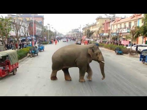 Un éléphant d'Asie fait un tour en ville après avoir été exclu de son groupe