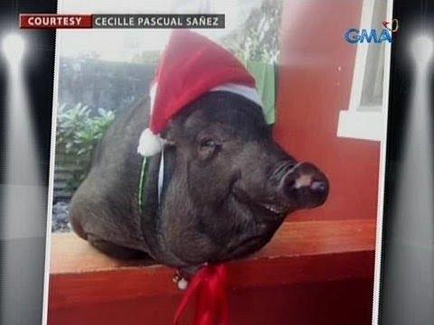 24 Oras: Baboy na pinangalanang 'Porkchop,' alaga ng isang teacher sa Cavite