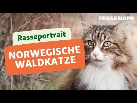 Rasseportrait: Norwegische Waldkatze