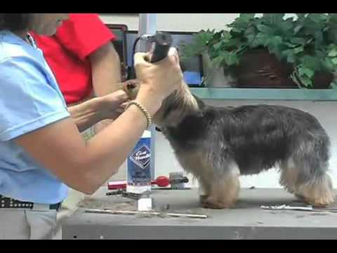 Super Styling Session Soft Coated Yorkshire Terrier Or Yorkie