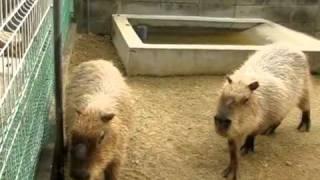 It's Beautiful Noise of Capybaras