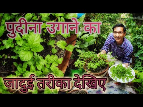 पुदीना उगाने का जादुई तरीका देखीए / अब पुदीना आसानी से लग जायेगा / Fastest Mint growing method.