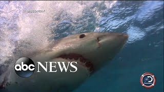 Olympian Michael Phelps races a great white shark