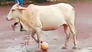 Ozzy Man Reviews: Soccer Cow