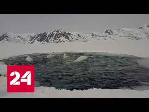 Белухи, застрявшие во льдах на Чукотке, благополучно пережили зиму  