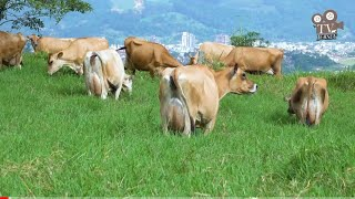 Cabanha DM Kniess - Pequena propriedade destaque na criação de gado Jersey em Braço do Norte/SC