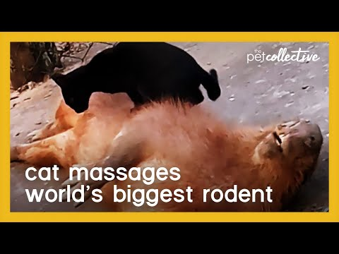Cat Gives Back Massage to the World's Biggest Rodent