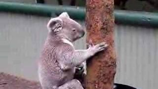 コアラ同士