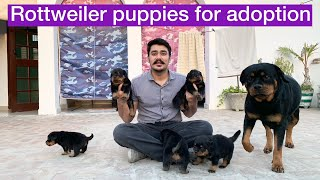 FINALLY! ROTTWEILER PUPPIES ARE AVAILABLE   K.C.I Registered   Rottweiler Puppy price in India
