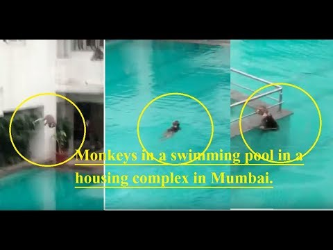 Monkeys diving and swimming in a pool-Viral video