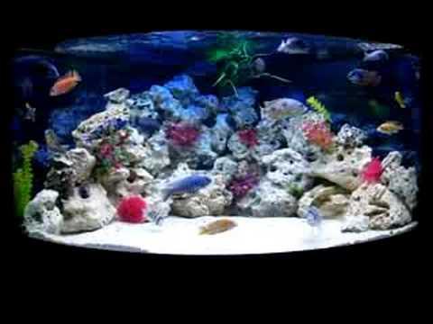 african cichlid tan aquarium youtube
