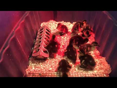 S4 - Duck Chronicles Episode Two - Into the Brooder with You