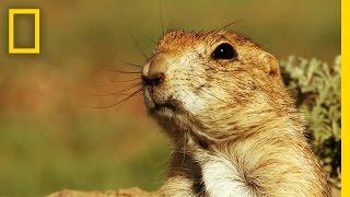 Prairie Dog Emergency Alert System   America's National Parks