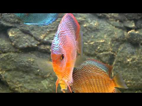 Snake Skin Discus Fish.mp4