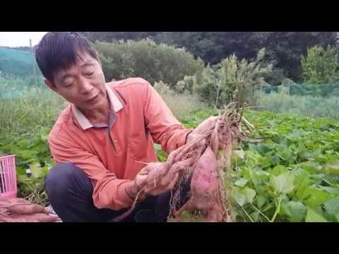고구마 수확시기 및 심줄 예방 방법