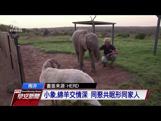 南非白化症小象掉進陷阱獲救 認綿羊當媽場面溫馨