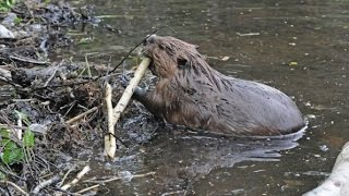 Dam Beavers (Nature Documentary)