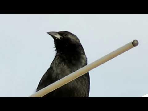 Baixar Pássaro Preto cantando solto, ao ar livre, sobre uma antena de TV - Canon SX40 HS [Full HD]