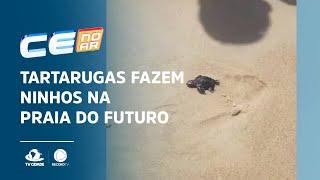 Tartarugas fazem ninhos na Praia do Futuro e filhotes ganham o mar