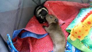 Baby Capybara Meets a Guinea Pig