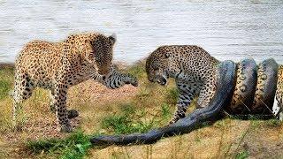 LIVE: Wild Discovery Animals 2018 - Leopard Attack Python To Rescue Friend - Craziest Animals Fight