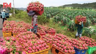 Amazing Modern Dragon Fruit Processing Factory, How To Farming Harvest Fruit & Product Process