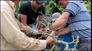 Mời xem chú Lê Quý chuyển thế cây mai dáng long thành mai bonsai dáng đổ ( thác đổ)
